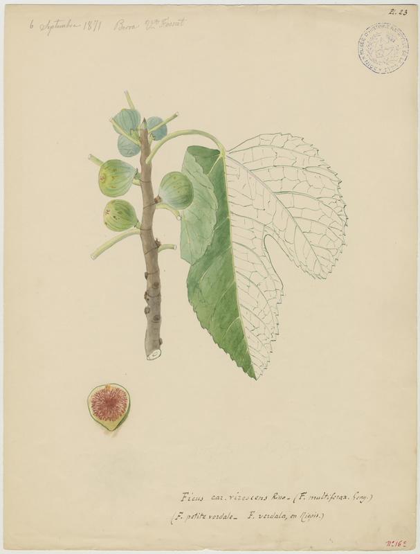 FOSSAT Vincent (aquarelliste, peintre) : Figuier, Pirule petite verdale