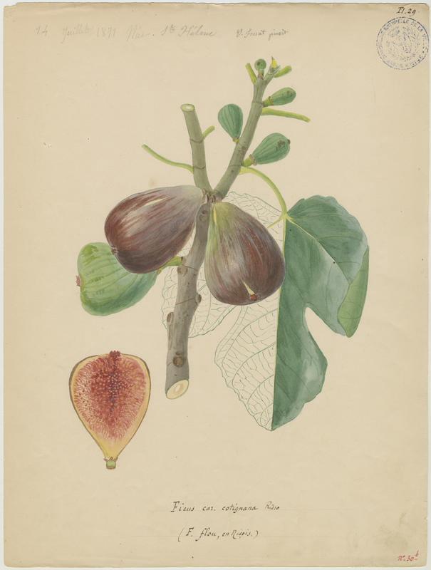 FOSSAT Vincent (aquarelliste, peintre) : Figuier, Ficus flou