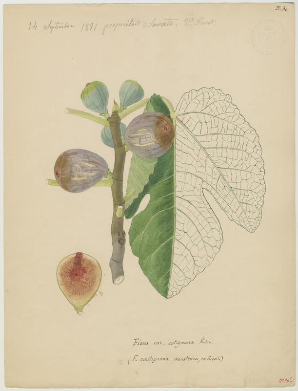FOSSAT Vincent (aquarelliste, peintre) : Figuier, Ficus coutignana aoustenca
