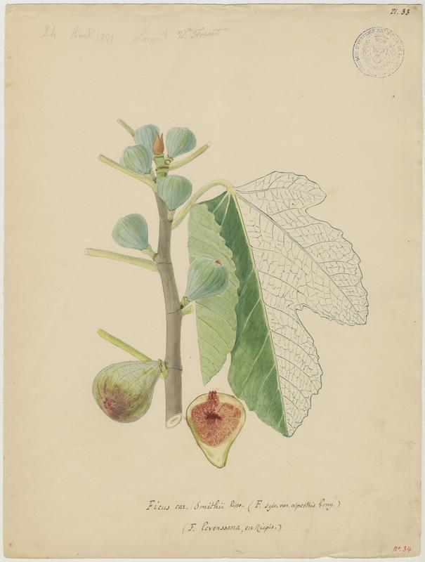 Figuier ; Ficus levenssana_0