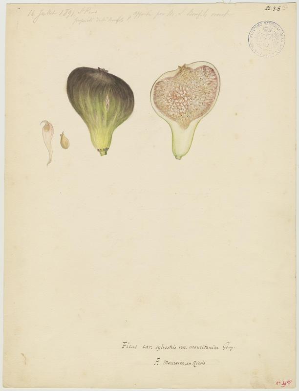 BARLA Jean-Baptiste (attribué à) : Figuier : figue, Ficus mouresca