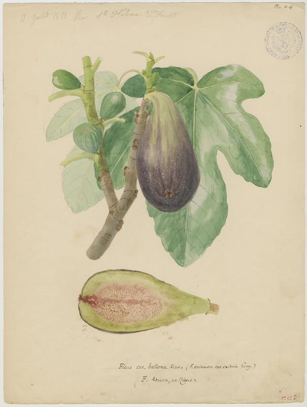 Figuier ; Ficus abicou_0