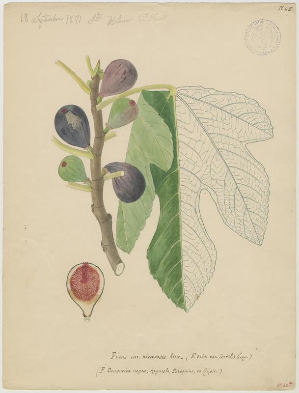 FOSSAT Vincent (aquarelliste, peintre) : Figuier, Ficus douqueira negra
