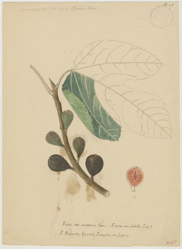 BASSO P : Figuier, Ficus douqueira