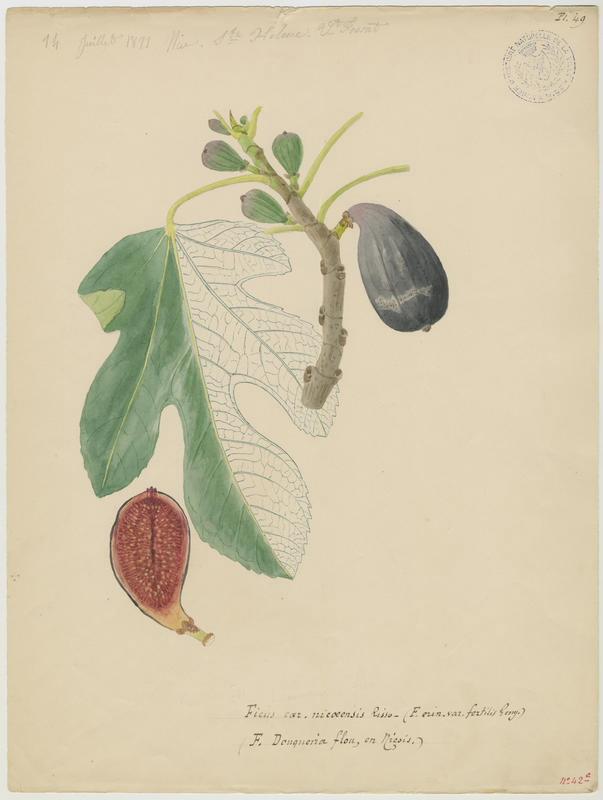 FOSSAT Vincent (aquarelliste, peintre) : Figuier, Ficus douqueira flou