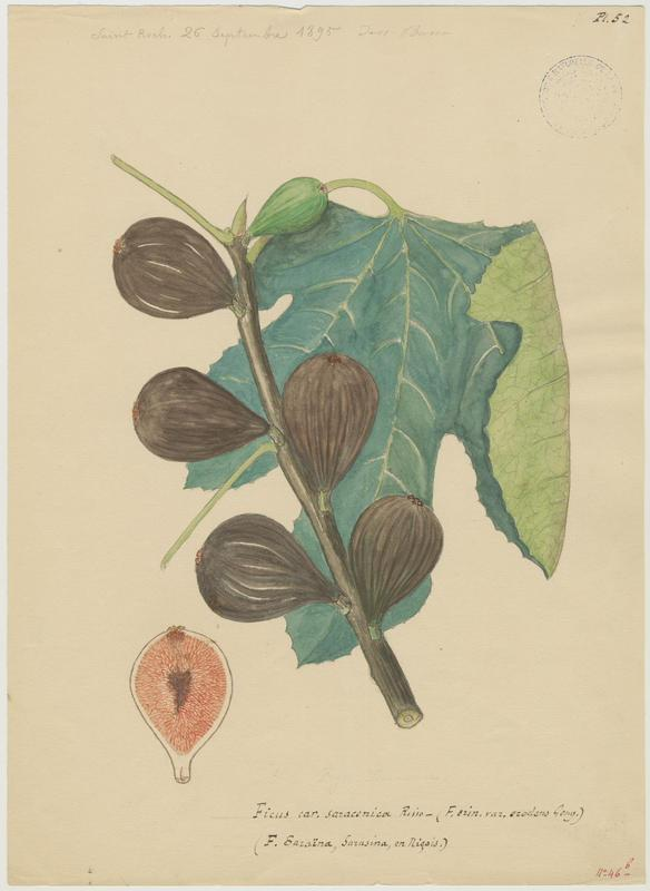 BASSO P : Figuier, Ficus saraïana