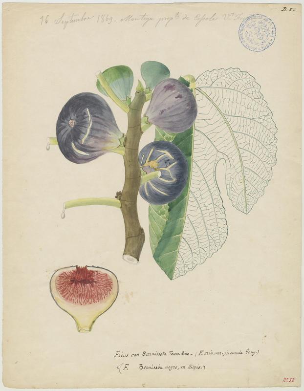 FOSSAT Vincent (aquarelliste, peintre) : Figuier, Ficus bernissou negre