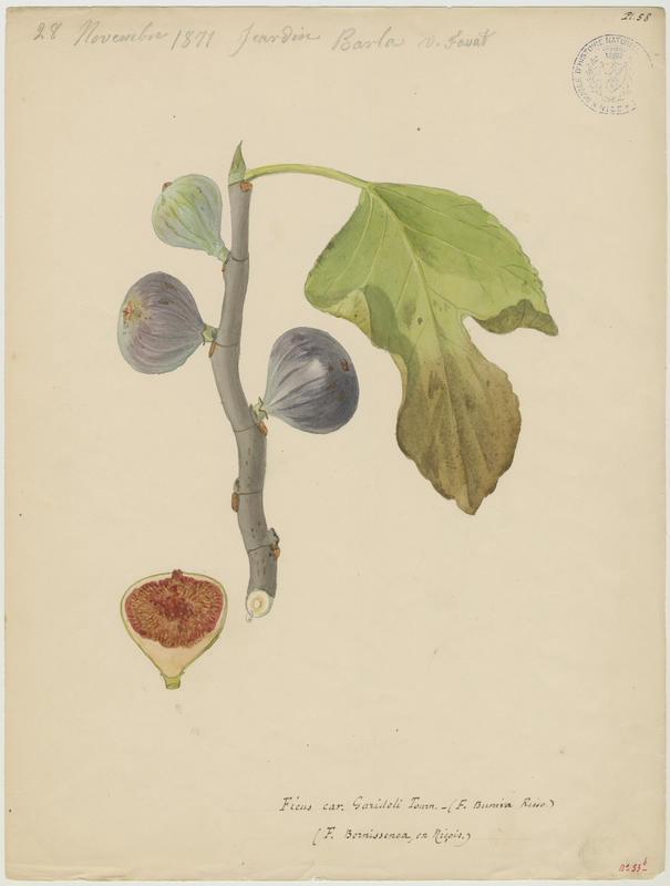Figuier ; Ficus bernissenca_0