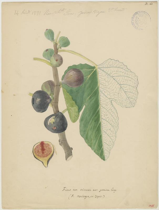 FOSSAT Vincent (aquarelliste, peintre) : Figuier, Ficus merlenga
