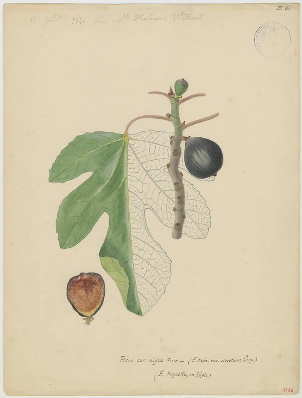 FOSSAT Vincent (aquarelliste, peintre) : Figuier, Ficus negretta