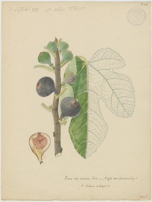 Figuier ; Ficus caïana_0