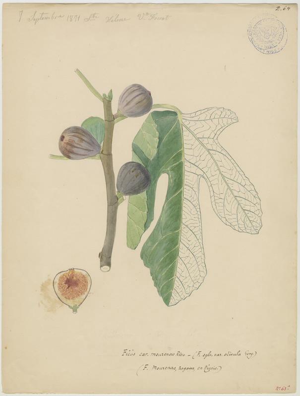 Figuier ; Ficus mourenao_0
