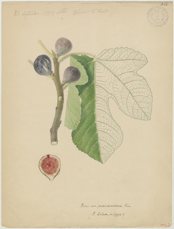 FOSSAT Vincent (aquarelliste, peintre) : Figuier, Ficus salada