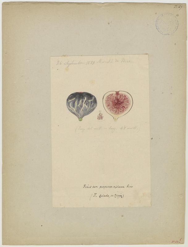 BARLA Jean-Baptiste (attribué à) : Figuier : figue , Ficus salada
