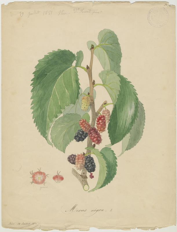 FOSSAT Vincent (aquarelliste, peintre) : Mûrier noir, plante à fleurs