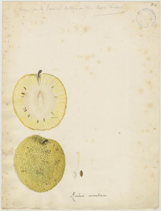 Oranger des Osages ; Bois d'arc_0