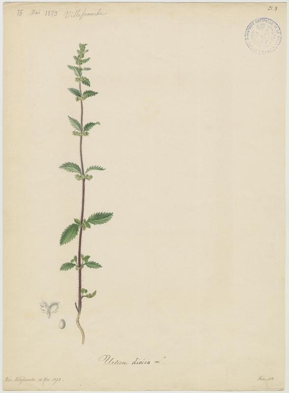 BARLA Jean-Baptiste (attribué à) : Grande Ortie, Ortie commune, plante à fleurs