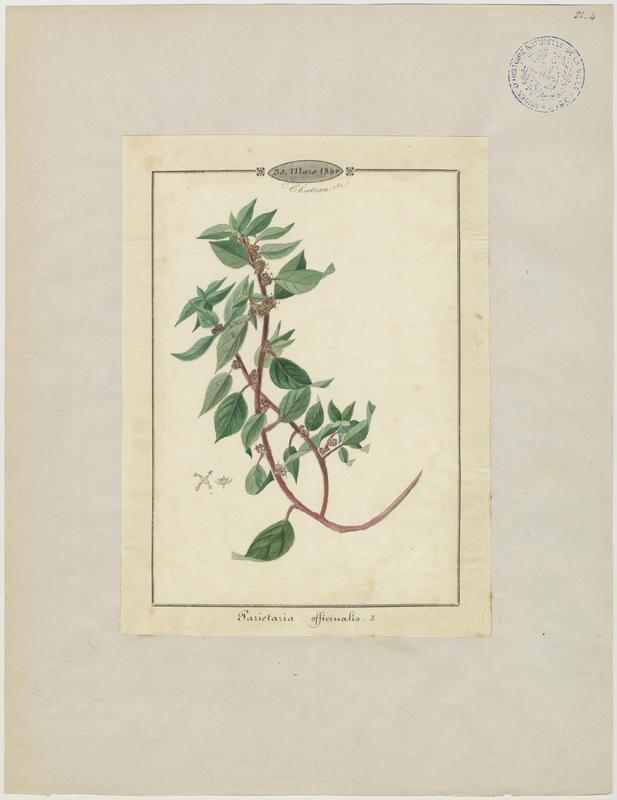 BARLA Jean-Baptiste (attribué à) : Pariétaire couchée, Pariétaire des murs, Pariétaire de Judée, Pariétaire diffuse, plante à fleurs