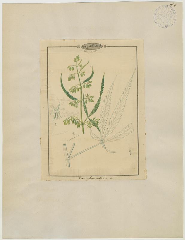 BARLA Jean-Baptiste (attribué à) : Cannabis, Chanvre cultivé, plante à fleurs
