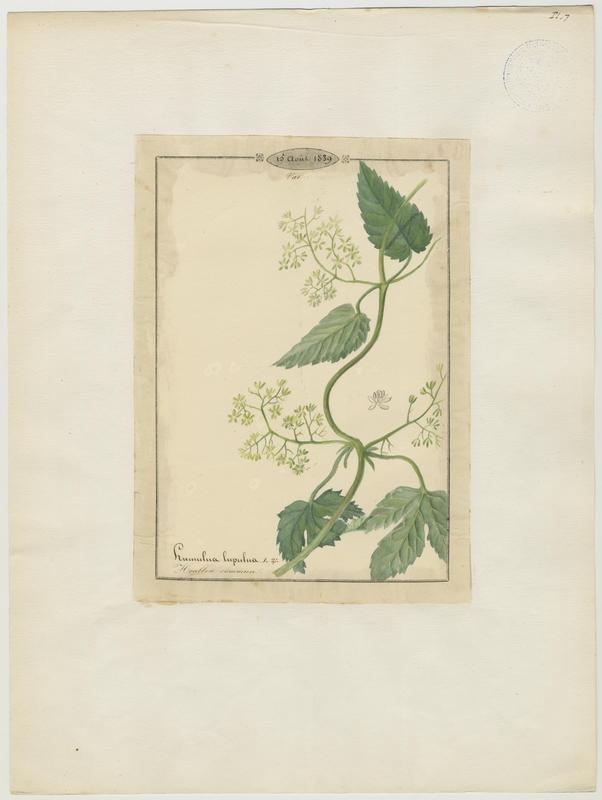BARLA Jean-Baptiste (attribué à) : Houblon commun, plante à fleurs