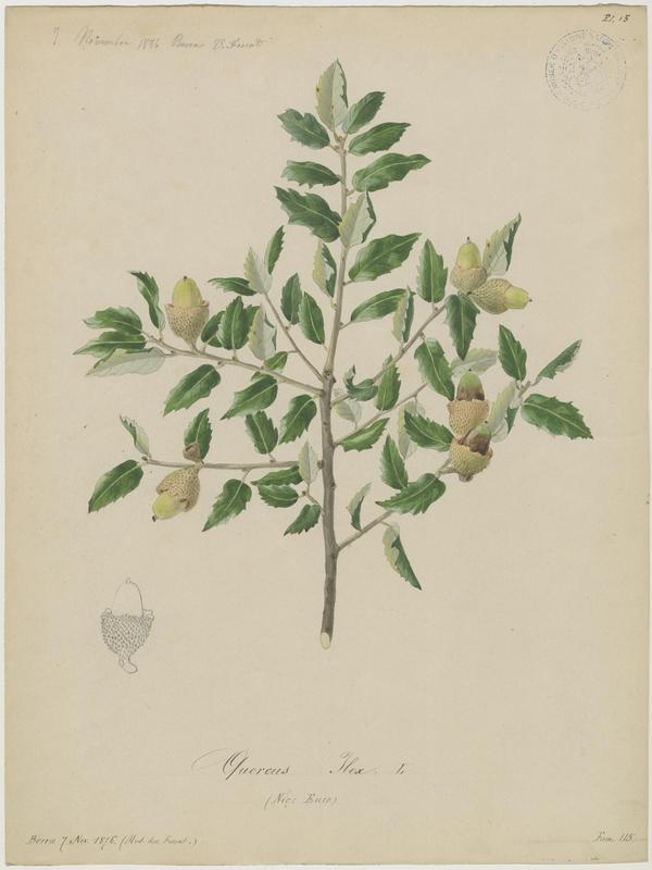 FOSSAT Vincent (aquarelliste, peintre) : Chêne vert, Yeuse, Euze