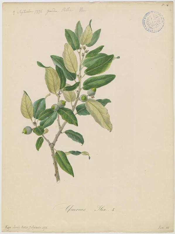 BARLA Jean-Baptiste (attribué à) : Chêne vert, Yeuse, Euze