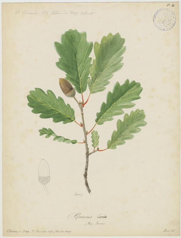 FOSSAT Vincent (aquarelliste, peintre) : Chêne chevelu, Chêne de Turquie, Euze