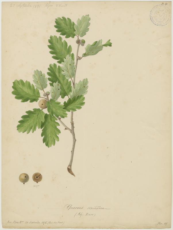 FOSSAT Vincent (aquarelliste, peintre) : Chêne rouvre, Chêne sessile, Euze