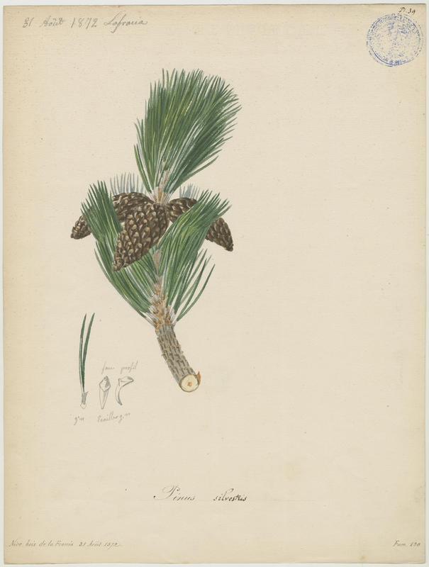 BARLA Jean-Baptiste (attribué à) : Pin sylvestre