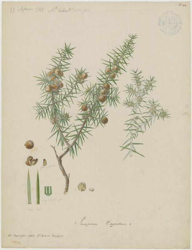 BARLA Jean-Baptiste (attribué à) : Genévrier oxycèdre, Cèdre piquant