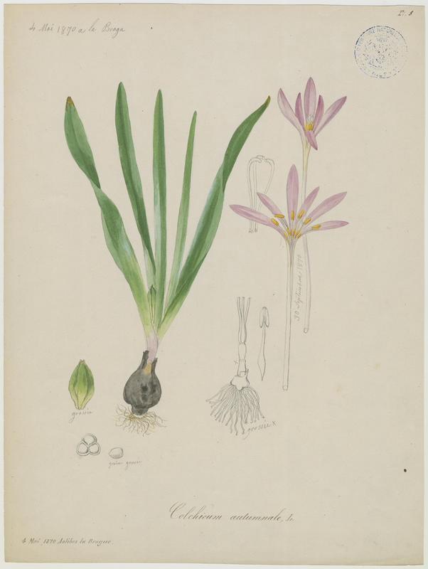 BARLA Jean-Baptiste (attribué à) : Colchique d'automne, Safran des prés, plante à fleurs