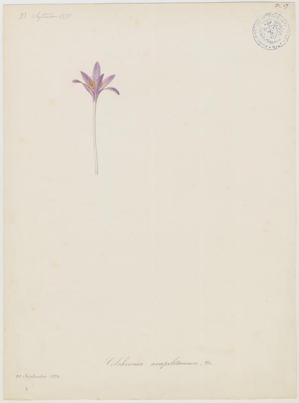 BARLA Jean-Baptiste (attribué à) : Colchique de Naples, plante à fleurs