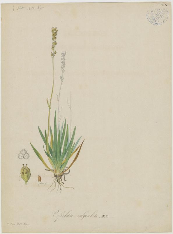 BARLA Jean-Baptiste (attribué à) : Tofieldie à calicule, plante à fleurs