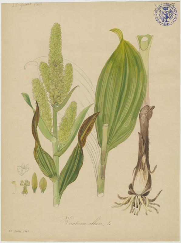 BARLA Jean-Baptiste (attribué à) : Vératre blanc, Varaire , plante à fleurs