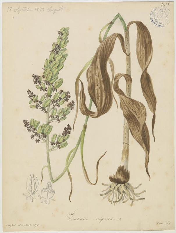 BARLA Jean-Baptiste (attribué à) : Vératre noir, plante à fleurs