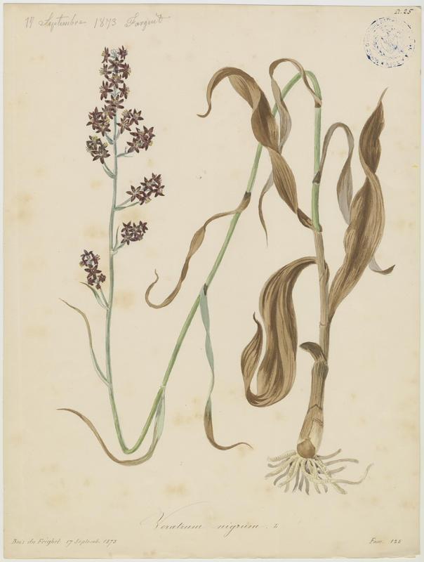 Vératre noir ; plante à fleurs_0