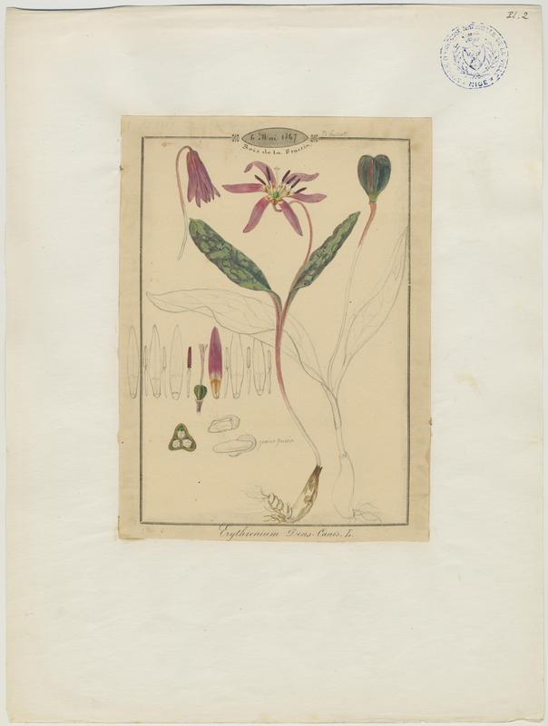 BARLA Jean-Baptiste (attribué à) : Érythrone dent-de-chien, Dent-de-chien, plante à fleurs
