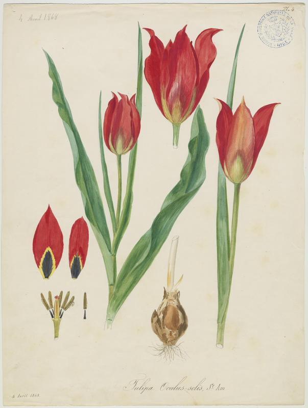 FOSSAT Vincent (aquarelliste, peintre) : Tulipe d'Agen, plante à fleurs