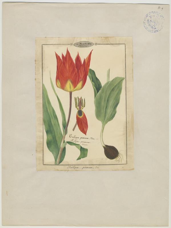 BARLA Jean-Baptiste (attribué à) : Tulipe précoce, plante à fleurs