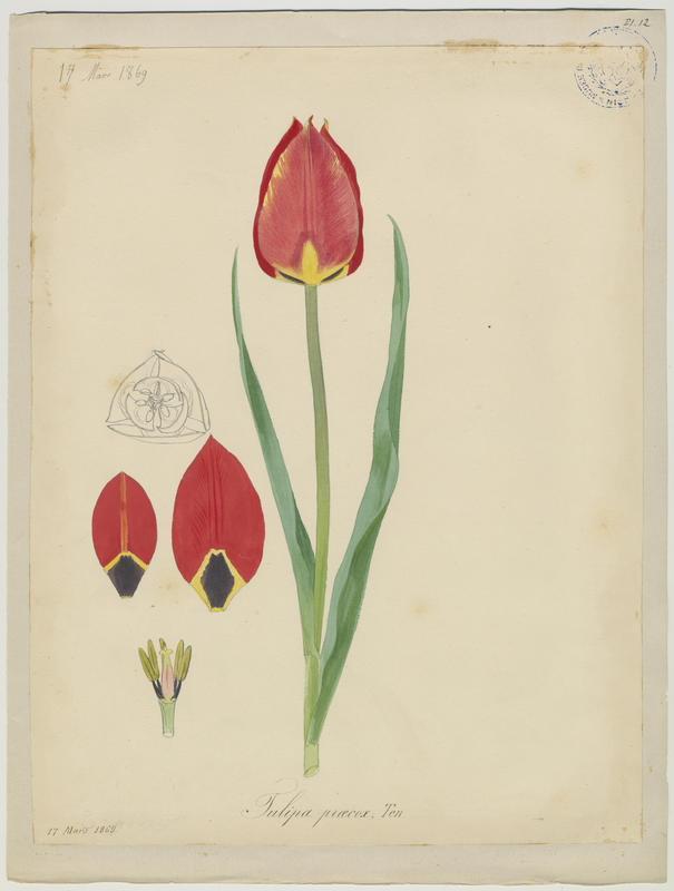 Tulipe précoce ; plante à fleurs_0