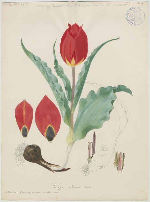 Tulipe d'Agen ; plante à fleurs_0