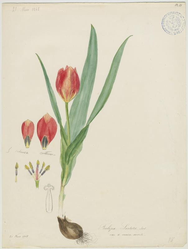 BARLA Jean-Baptiste (attribué à) : Tulipe d'Agen, plante à fleurs
