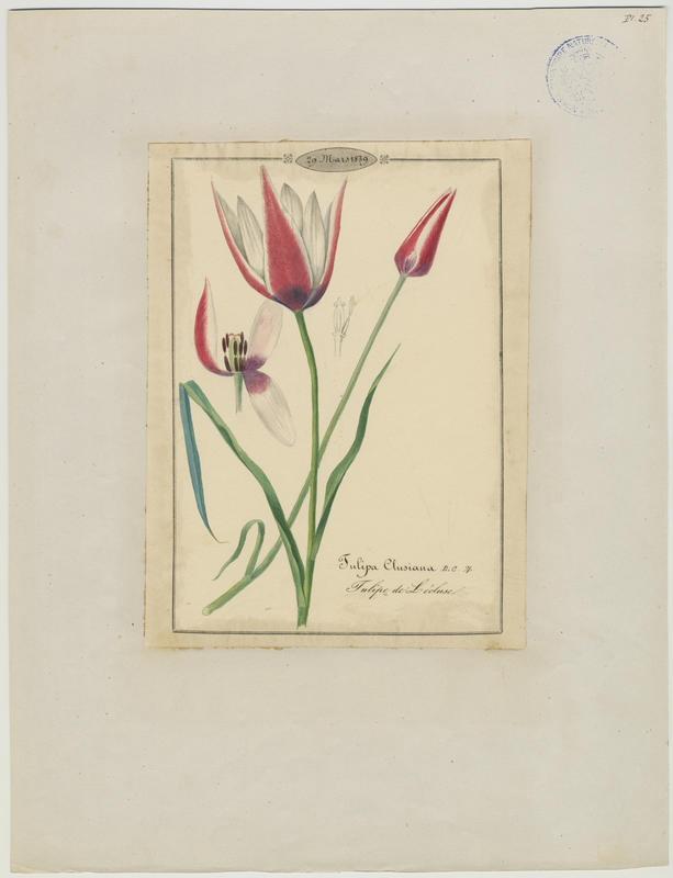 BARLA Jean-Baptiste (attribué à) : Tulipe de l'Écluse, Tulipe de Perse, plante à fleurs