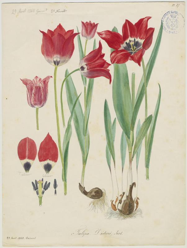 FOSSAT Vincent (aquarelliste, peintre) : Tulipe de Didier, plante à fleurs