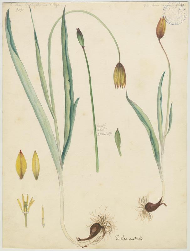 LOMBARDI Charles : Tulipe des Alpes, Tulipe du Midi, plante à fleurs