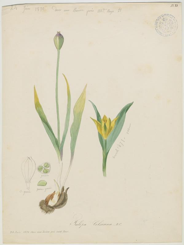 BARLA Jean-Baptiste (attribué à) : Tulipe des Alpes, Tulipe du Midi, plante à fleurs
