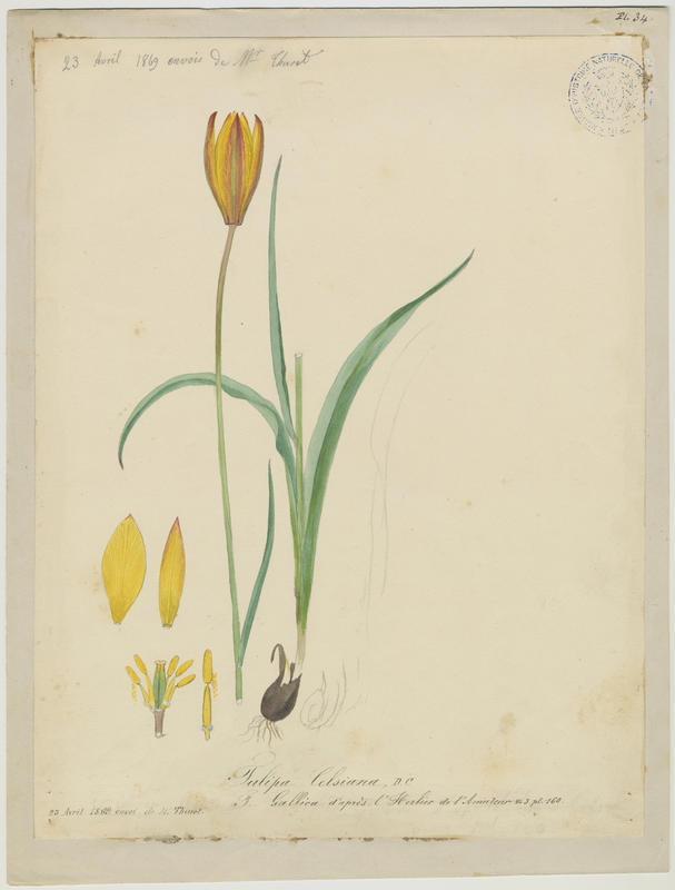 FOSSAT Vincent (aquarelliste, peintre) : Tulipe des Alpes, Tulipe du Midi, plante à fleurs