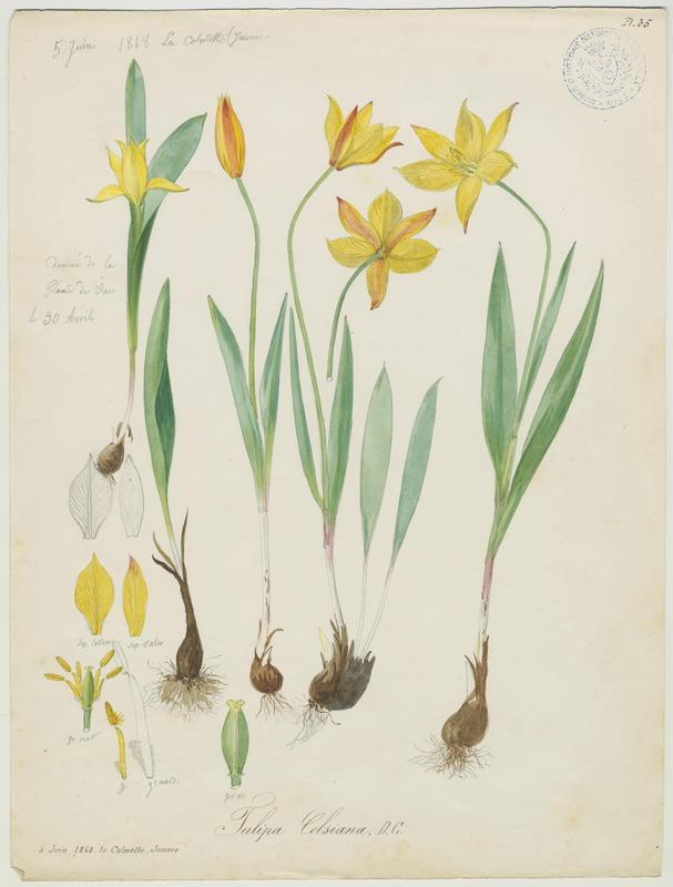 Tulipe des Alpes ; Tulipe du Midi ; plante à fleurs_0