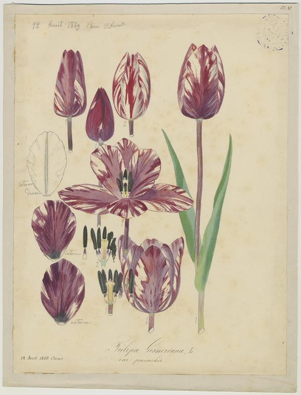 FOSSAT Vincent (aquarelliste, peintre) : Tulipe de Gesner, plante à fleurs