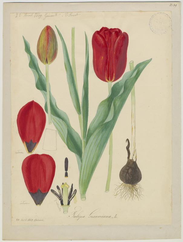 Tulipe de Gesner ; plante à fleurs_0
